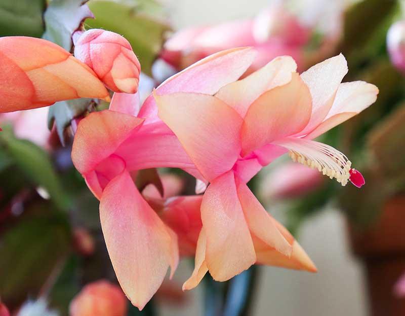 Blomma av novemberkaktus