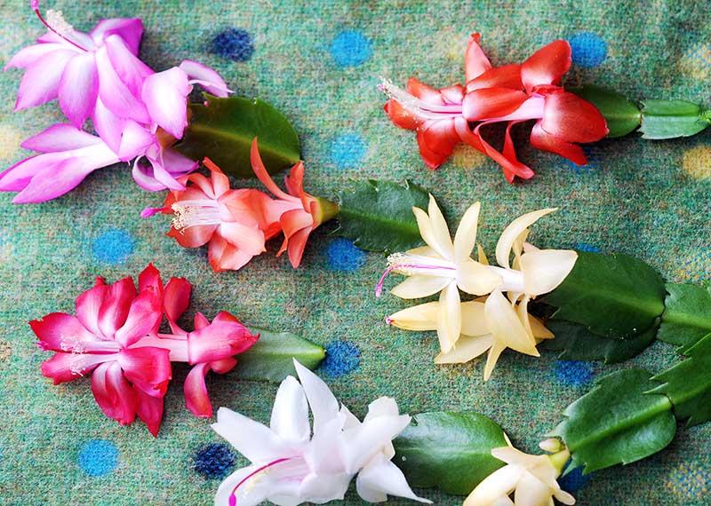 Olika blommor av julkaktus och novemberkaktus