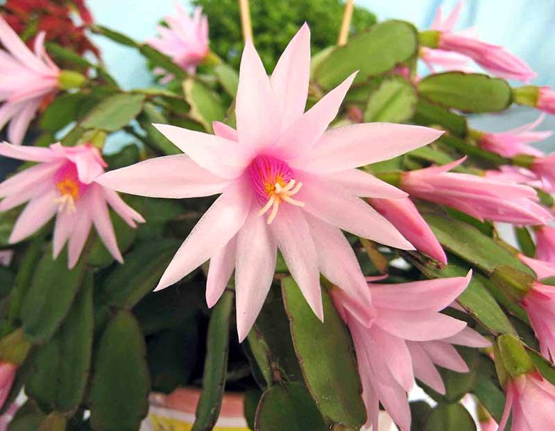 Blommande krukväxt påskkaktus Schlumbergera