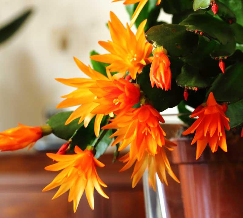 Blommande orange påskkaktus Schlumbergera