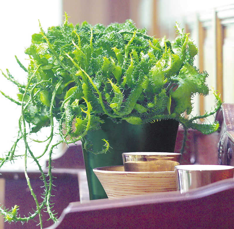 Euphorbia cristata krukväxt inomhus