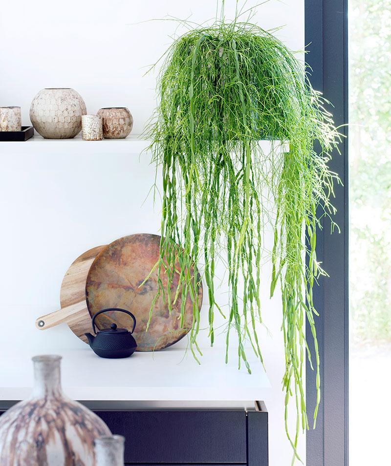 Mistelkaktus rhipsalis cereuscula krukväxt inomhus