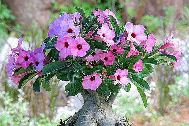 Ökenros med ovanliga rosalila blommor