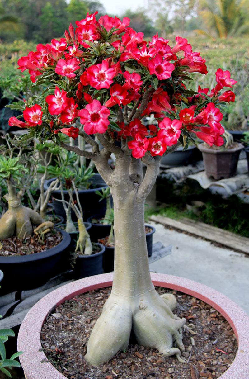 Ökenros adenium med röda blommor