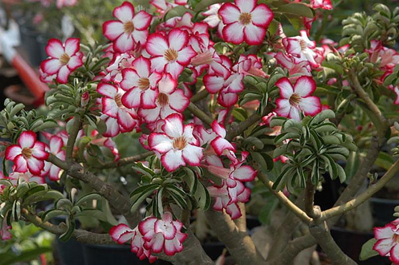 Ökenros med rödkantade vita blommor