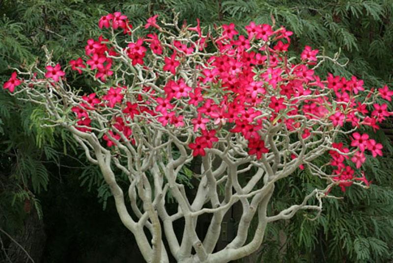 Välförgrenad ökenros med röda blommor på kala grenar