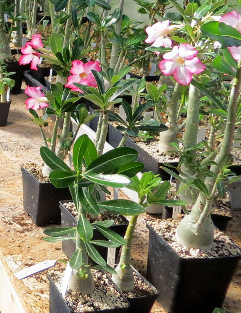 Frösådda plantor av ökenros står trångt i krukorna