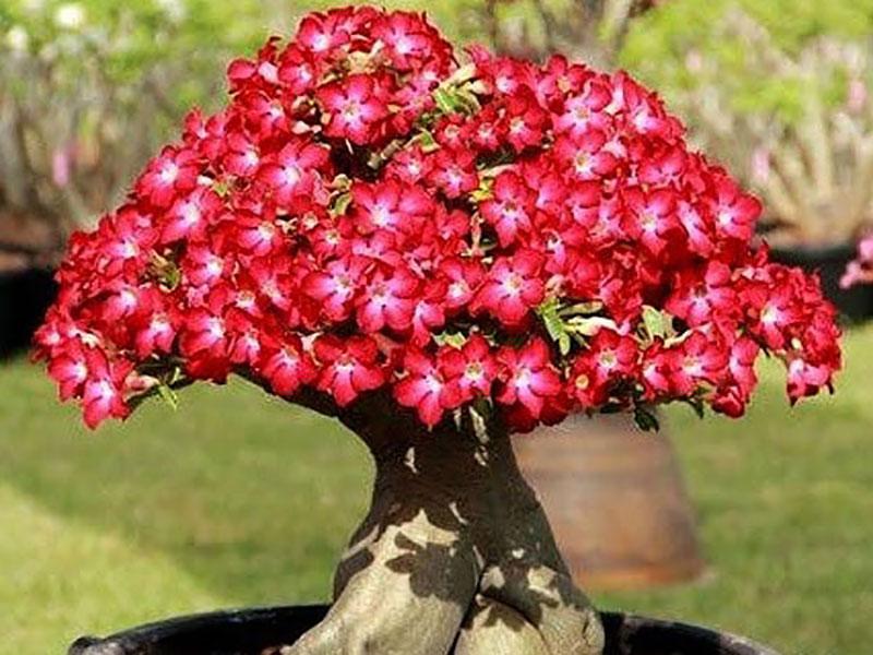 Ökenros med röda blommor