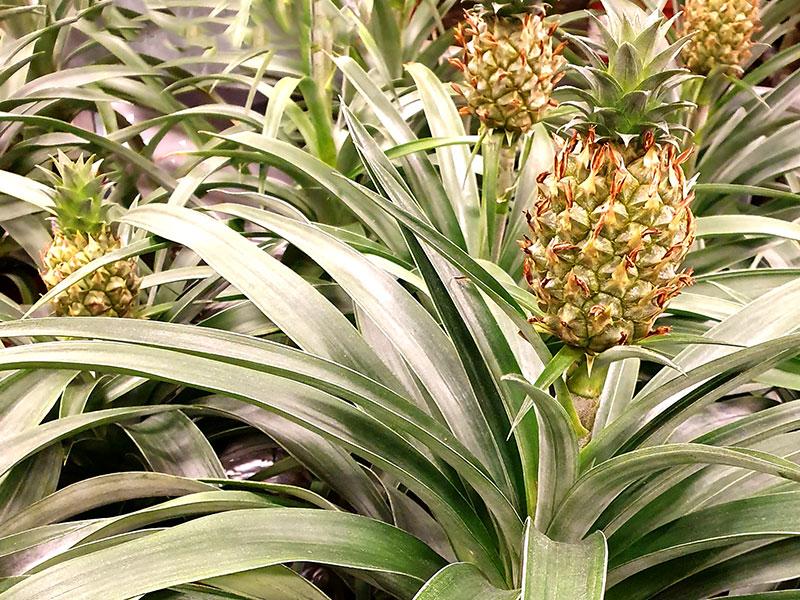 Dvärgananas, Ananas nanus