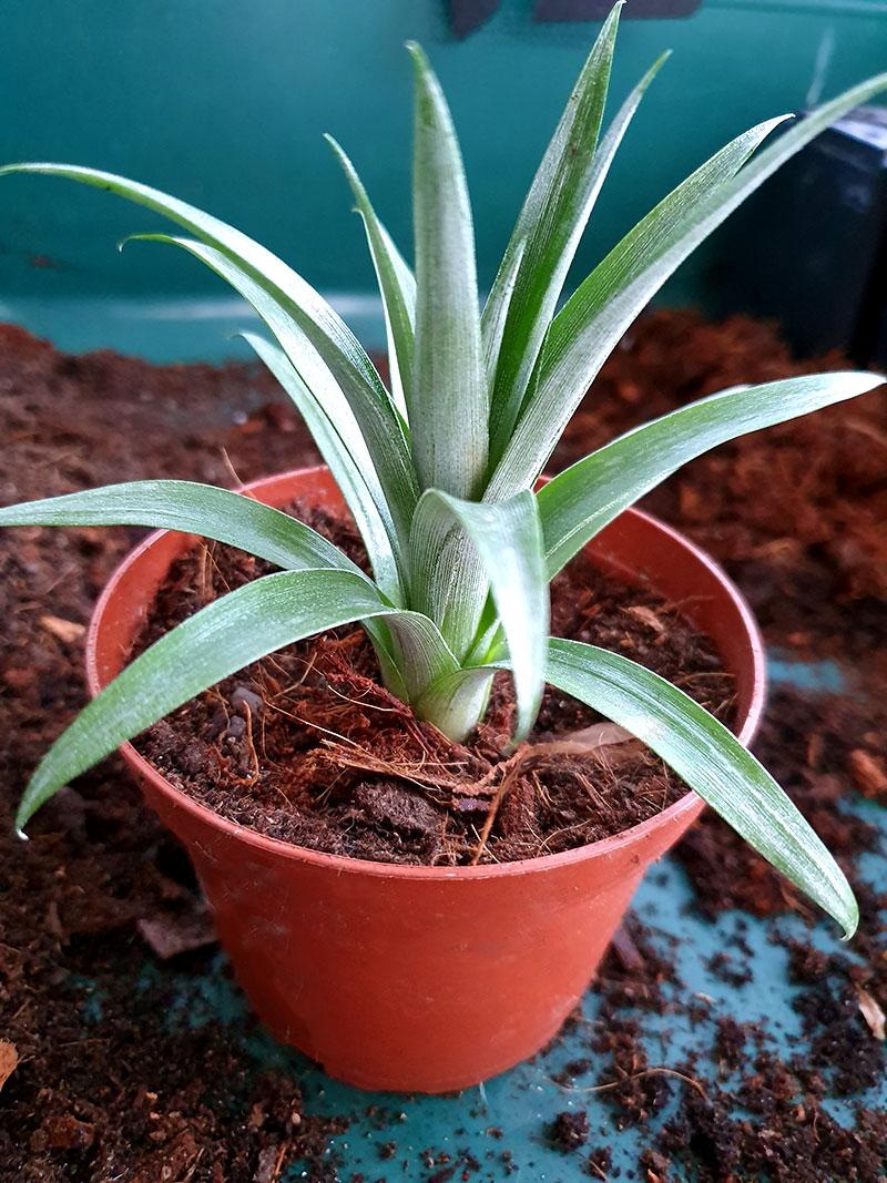 Topstickling av dvärgananas planterad i kruka