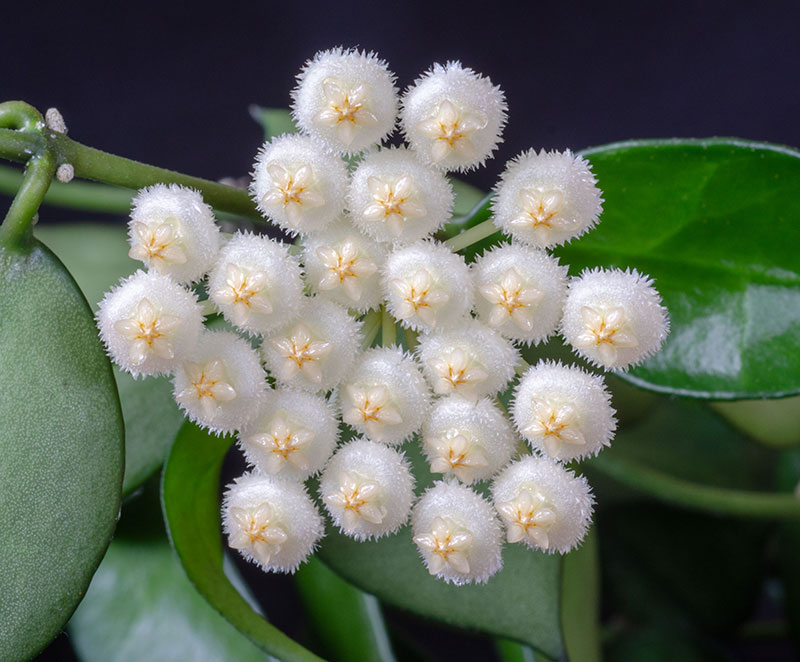 Närbild på porslinsblomma, Hoya lacunosa