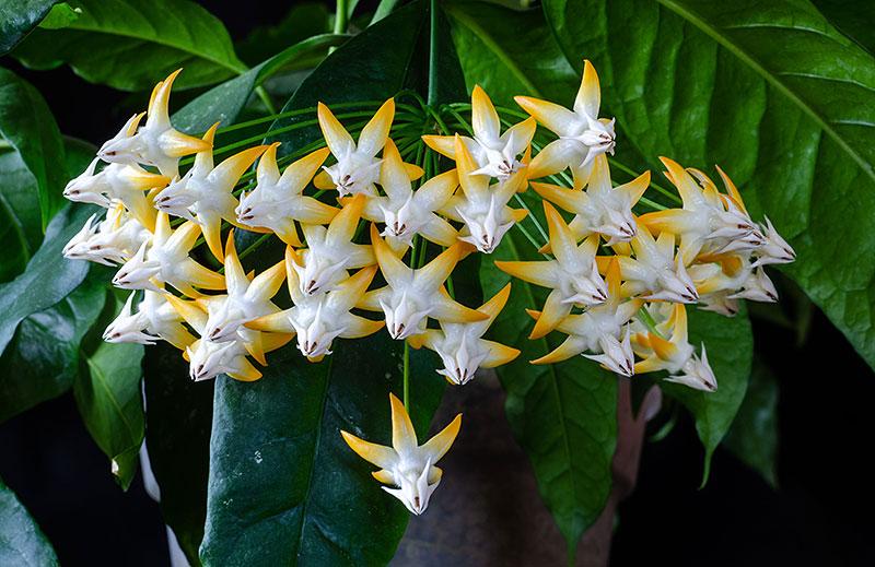 Närbild på blomma porslinsblomma, Hoya multiflora SV 406