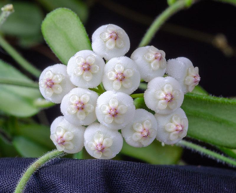 Närbild porslinsblomma Hoya rotunidoflora