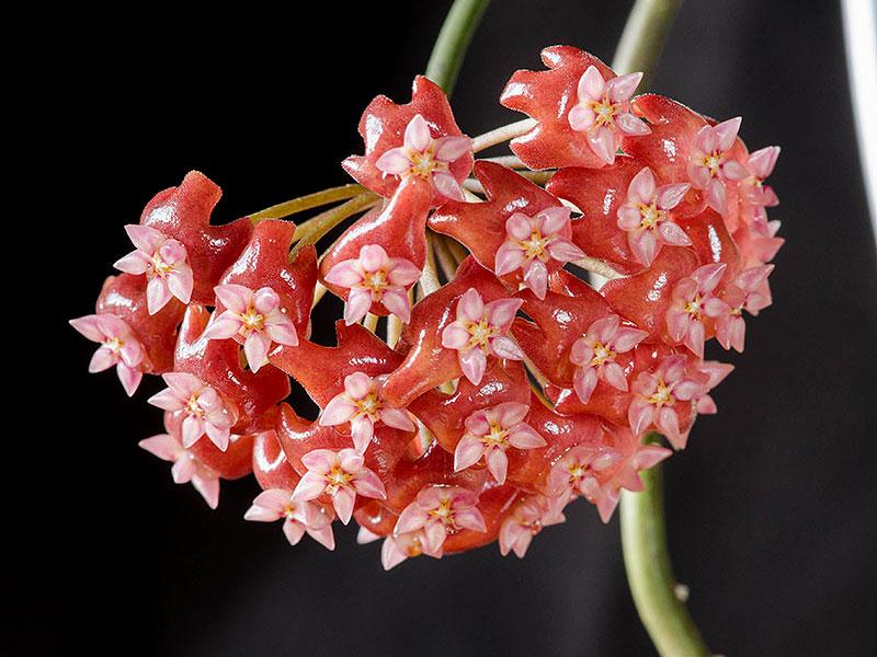 Närild på porslinsblomma Hoya ilagiorum
