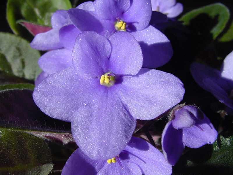 Klassisk blåblommande Saintpaulia