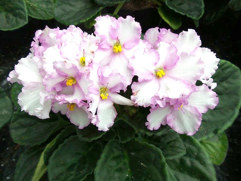 SaintPaulia med fransiga blommor