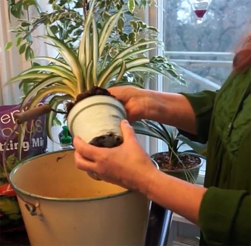Krukan tas bort vid omplantering av krukväxten