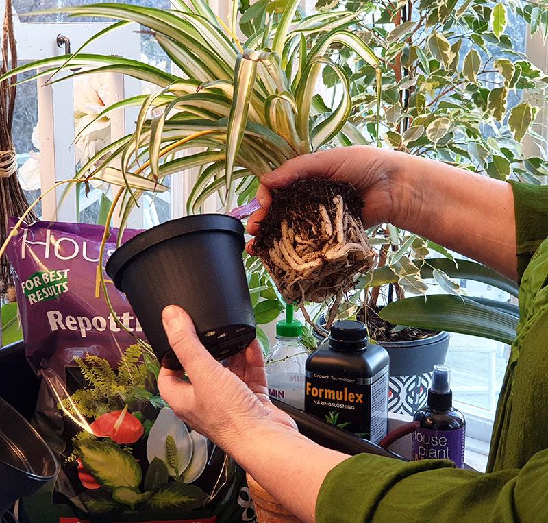 Omplantering av krukväxten i en storlek större kruka
