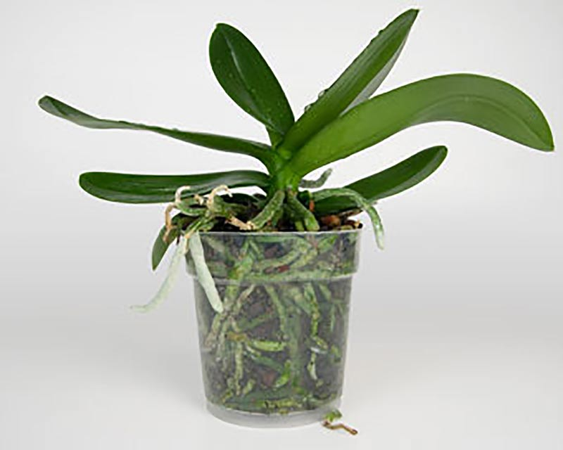 Orkide i genomskinlig kruka, redo för omplantering