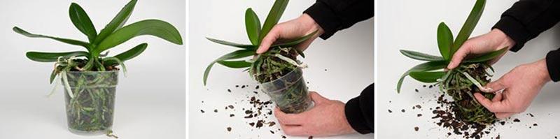 Omplantering av orkideer, steg 1-3