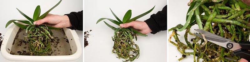 Omplantering av orkideer, steg 4-6