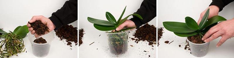 Omplantering av orkideer, setg 7-9