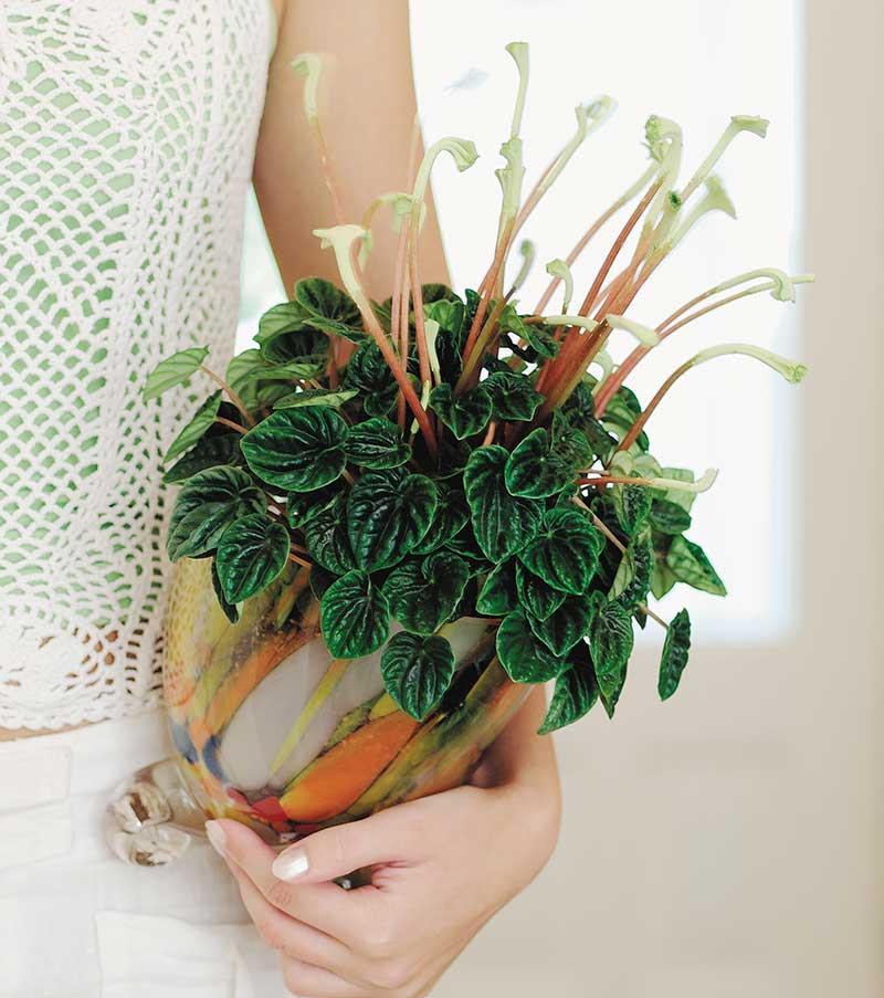 Ispigg peperomia som krukväxt med blomma
