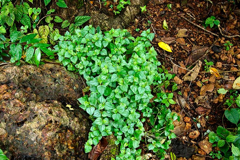 Klättrande peperomia i vild natur