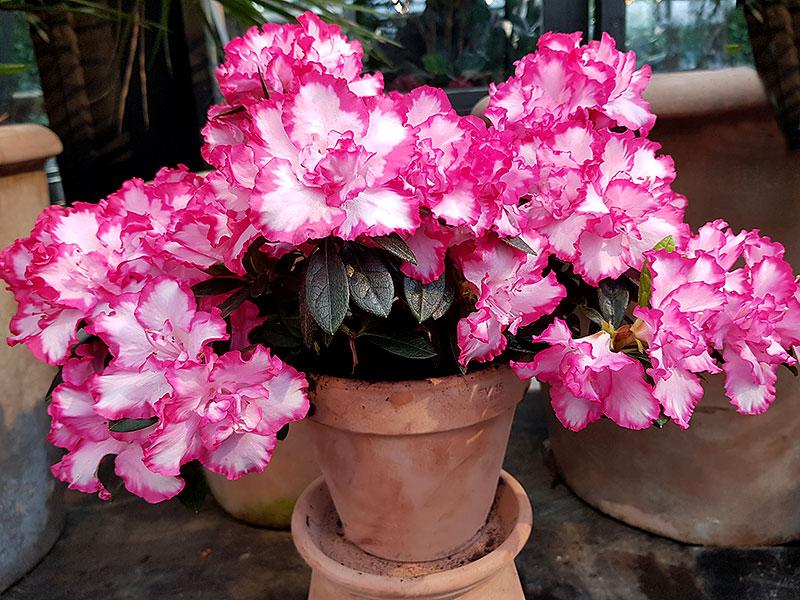 Azalea med rosa och vita blommor