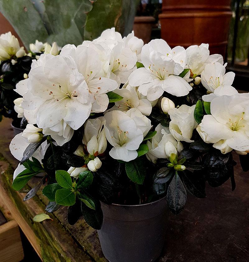 Azalea med vita blommor