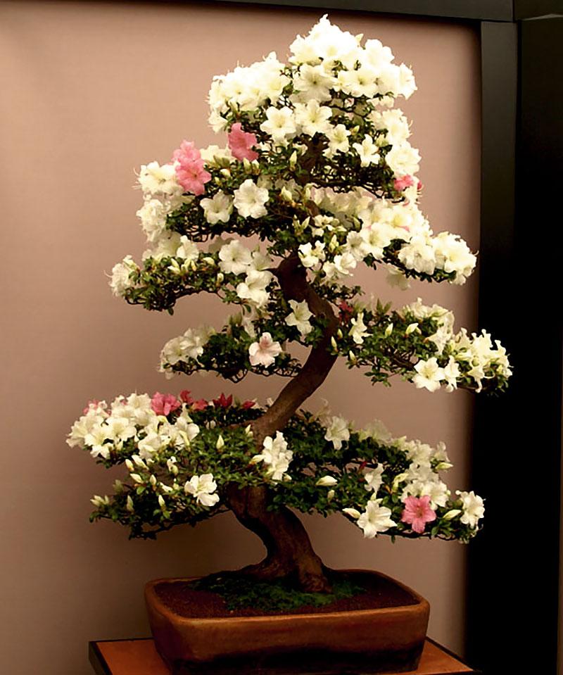 Azalea formad som bonsai
