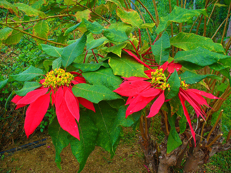 vild julstjärna i Mexico