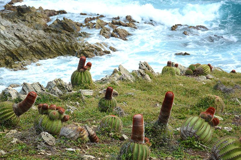 Echinocactus turkisk fez kaktus i Karibien