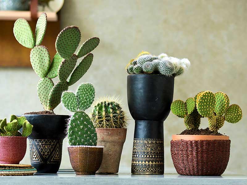 Olika slags kaktusar som krukväxter