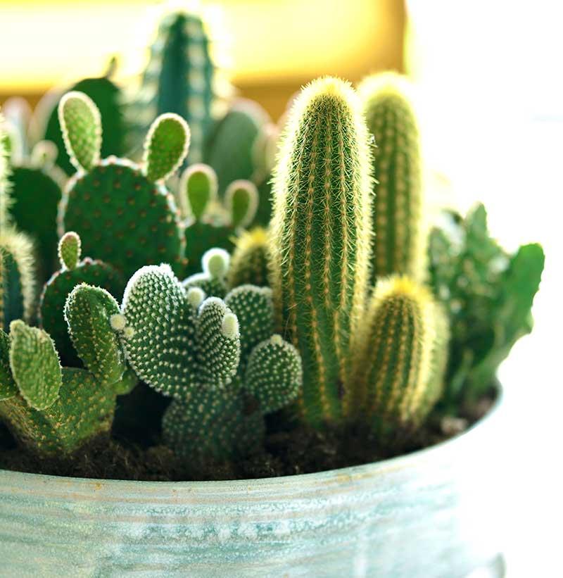 Samplantering av kaktusar i kruka