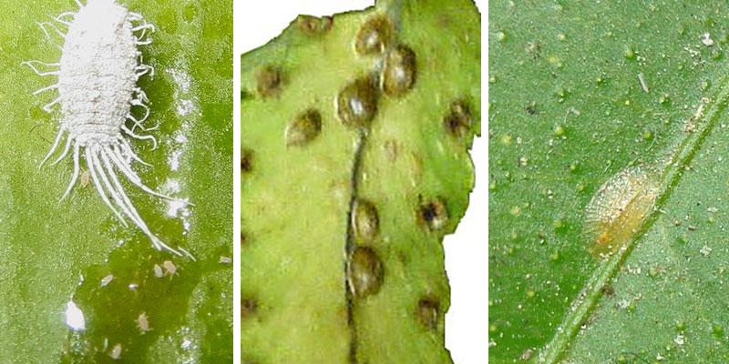 Ullöss och sköldlöss på kaktus