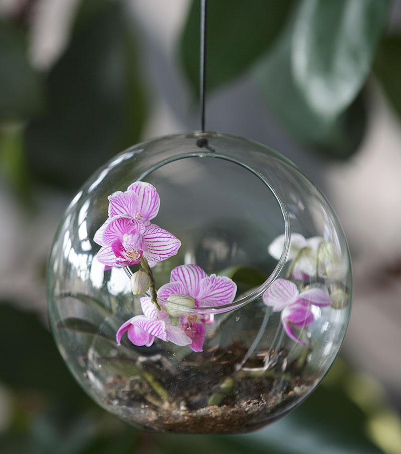 Brudorkidé Phalaenopsis som luftplanta i glaskula