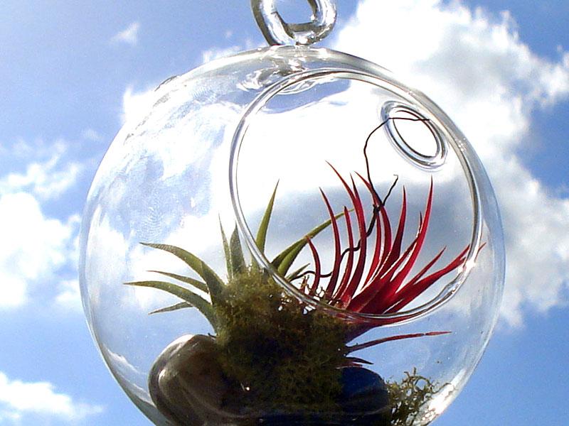 Luftplanta Tillandsia i glaskula