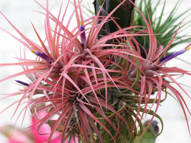 Tillandsia 'Victoria', airplant, luftplanta