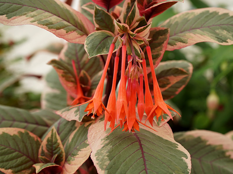 Spkifuchsia, Fuchsia triphylla 'Firecracker'