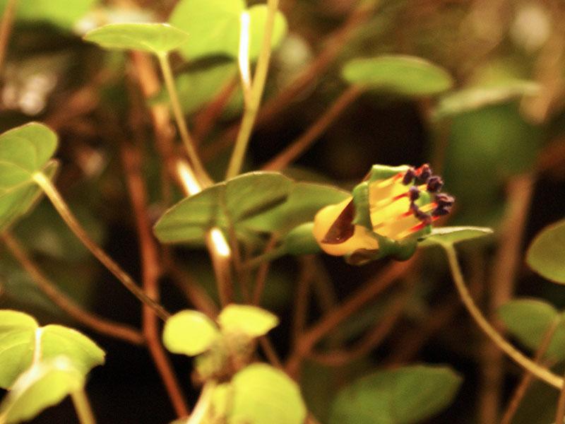 Vildart Fuchsia procumbens