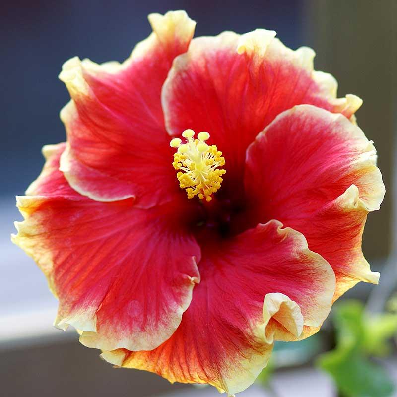HIbiskus med röd blomma och gula kanter