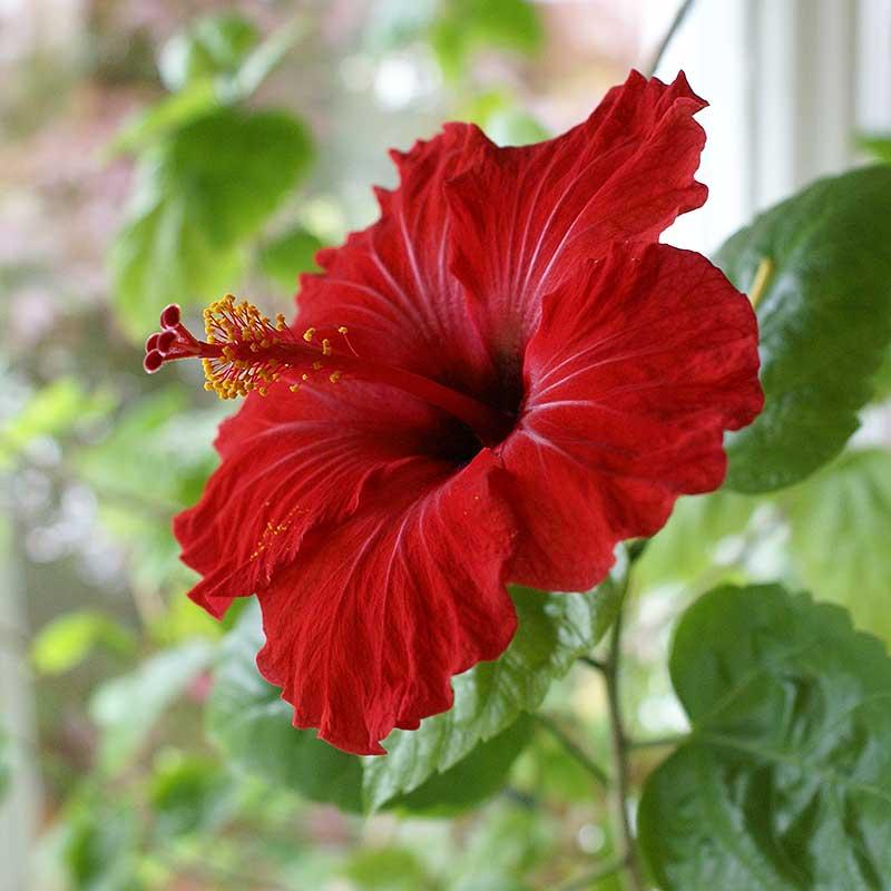 Hibiskus med enkel röd blomma