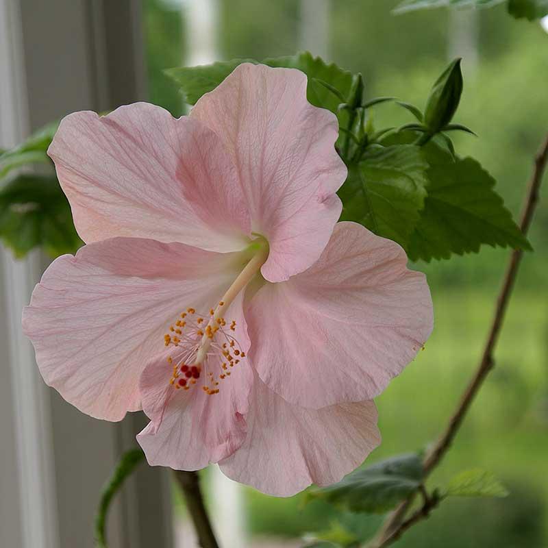 Hibiskus med enkel rosa blomma
