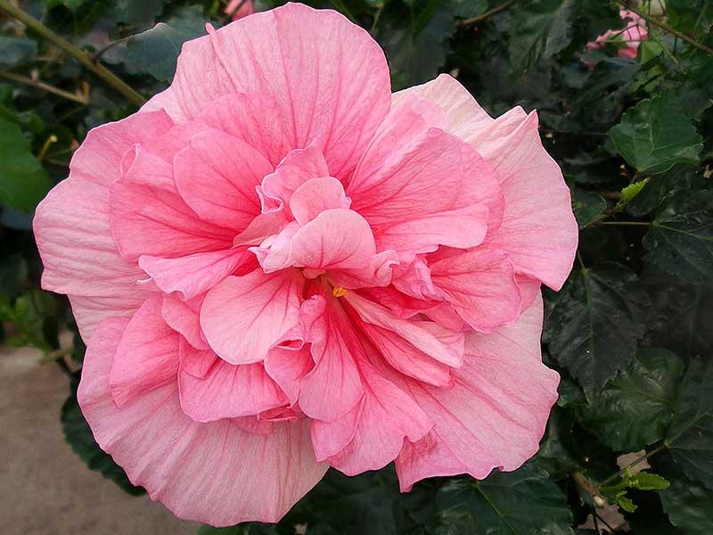 Hibiskus med rosa dubbel blomma
