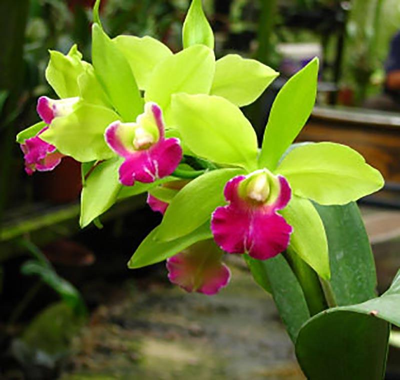 Orkidé Cattleya med lime- och cerisefärgad blomma
