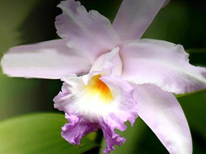 Orkide av arten Cattleya