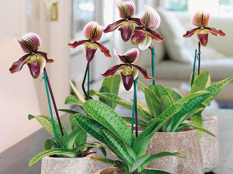 orkidé venussko paphiopedilum