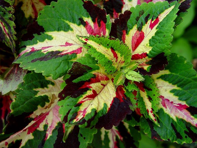 Palettblad med trefärgade, spräckliga blad