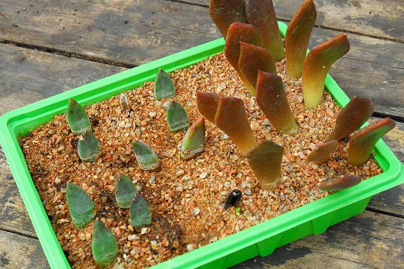 Förökning av suckulenter med bladsticklingar